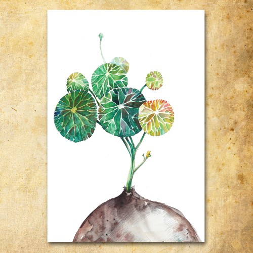 Atvirukas Stephania Erecta Craib (akvarelė)